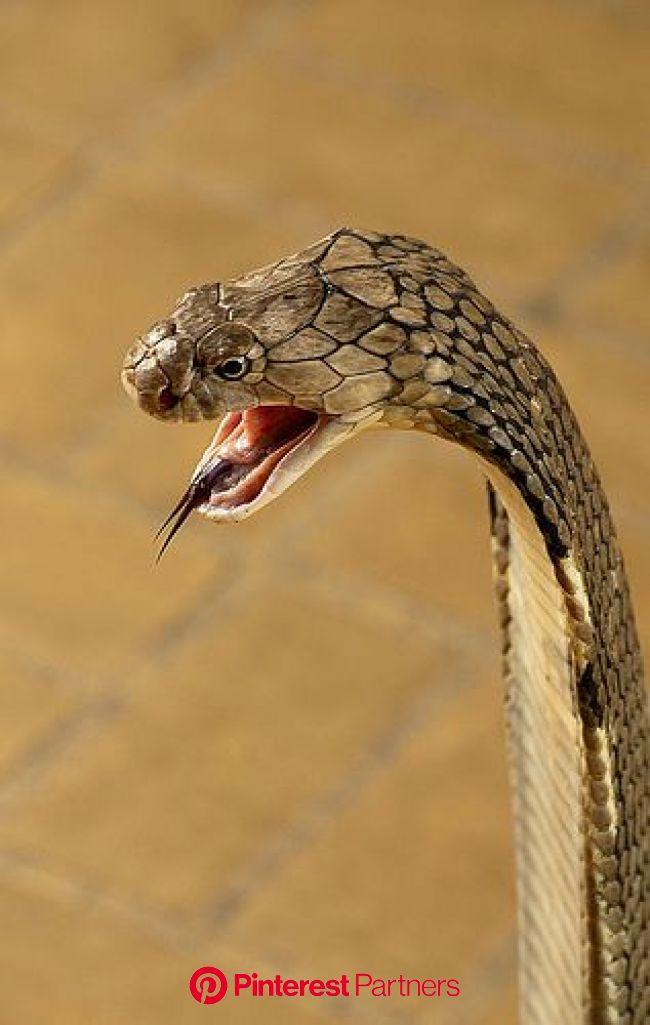King Cobra, the world's longest venomous snake, (Ophiophagus hannah) | Snake, Snake venom, Reptile snakes