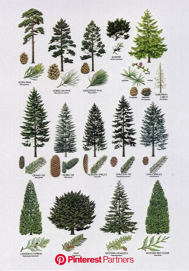 Best Film Posters : 8) Proximity- The elements (different types of trees) are placed close to one an | Types of pine trees, Tree drawing, Conifer tree