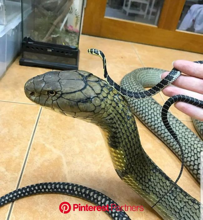 17 year old Southern Thai King Cobra next to a 3 week old Southern Thai King Cobra | Baby snakes, Snake, King cobra