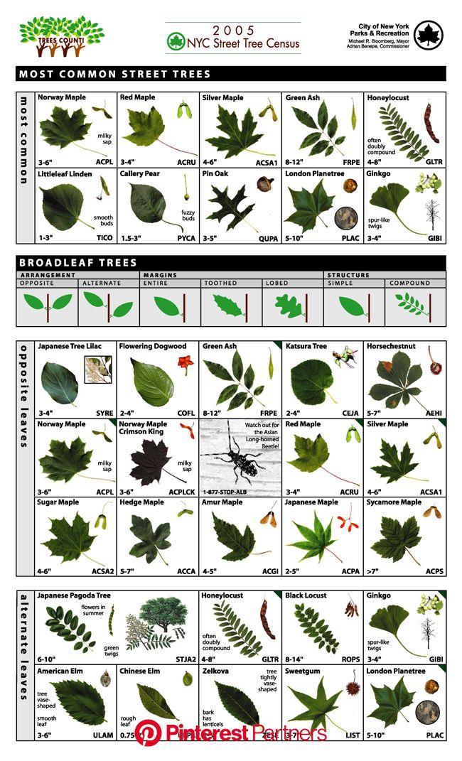 Hudson Allergy Tribeca: New York City's street trees may be aggravating yo...   Tree leaf identification, Tree identification, Leaf identificatio