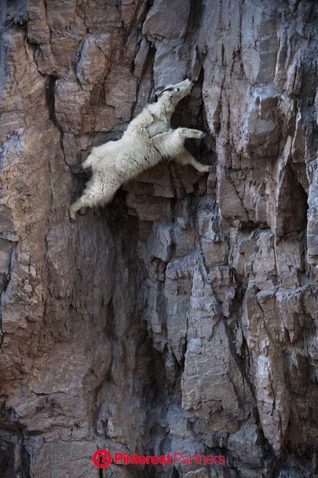 Les Naïfs on Twitter   Nature animals, Mountain goat, Goats