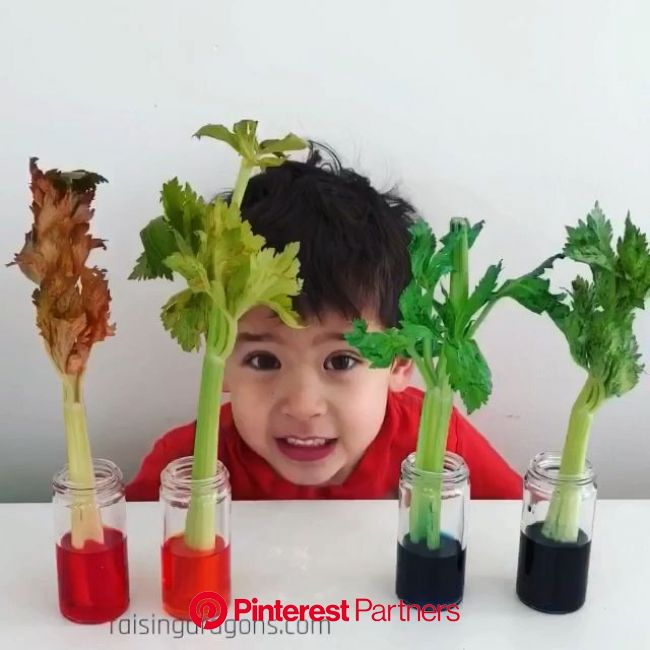 Such a cool science experiment to learn about transpiration! #stem #scienceforkids #homeschool #prek