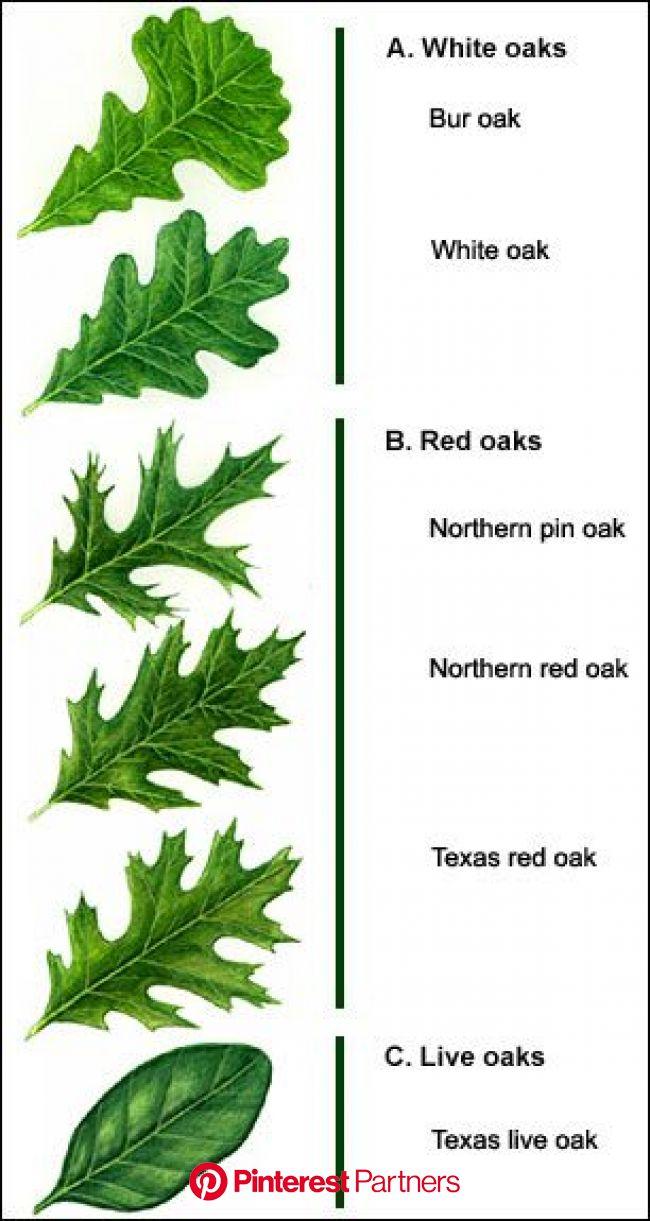 Hpprotreecare.com   Tree leaf identification, Oak leaf identification, Leaf identification