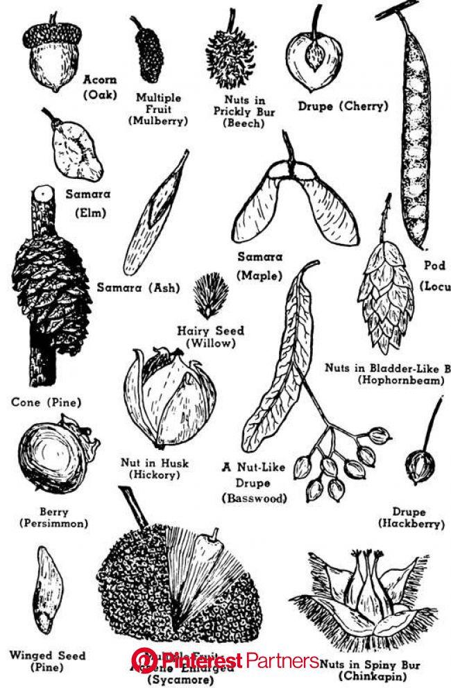 Identifying tree seeds | Tree identification, Tree study, Identifying trees