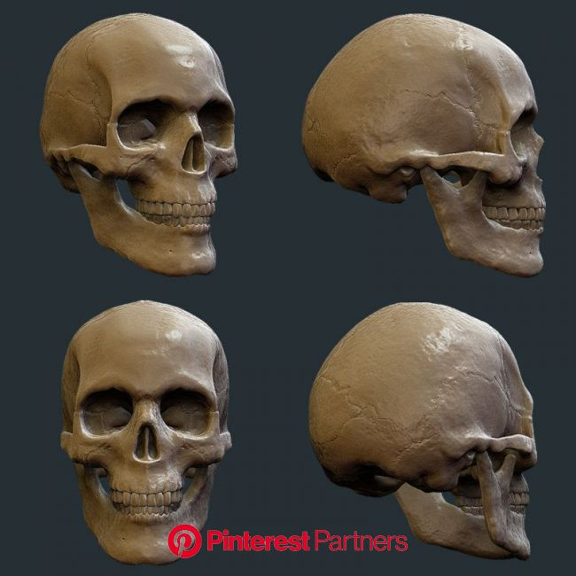 zbrush skull 3d model | Skull anatomy, Skull sketch, Anatomy sculpture