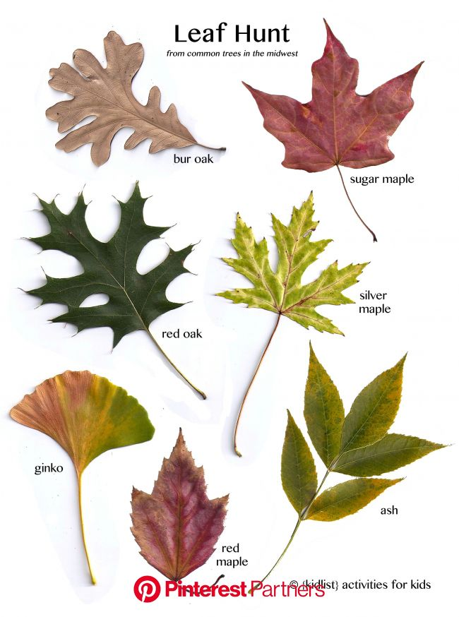 Fall is a wonderful time to take walks, especially since the weather has been so nice! I wanted to go on a … | Tree leaf identification, Leaf identifi