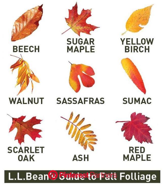 Leaf identification Guide   Leaf identification, Autumn leaves, Tree identification