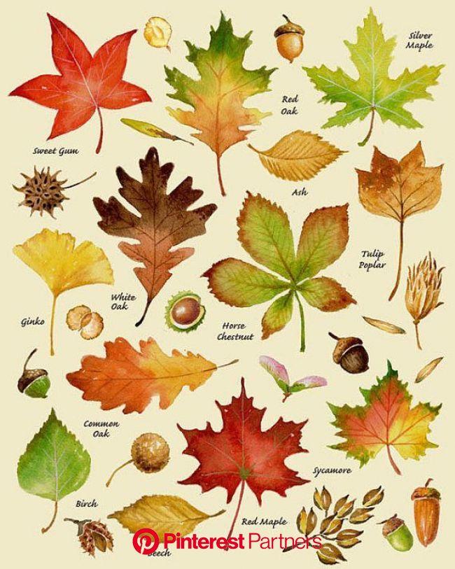 Feuilles dautomne Print variétés à feuilles Types de | Feuille automne, Impressions de feuilles, Décor d'automne