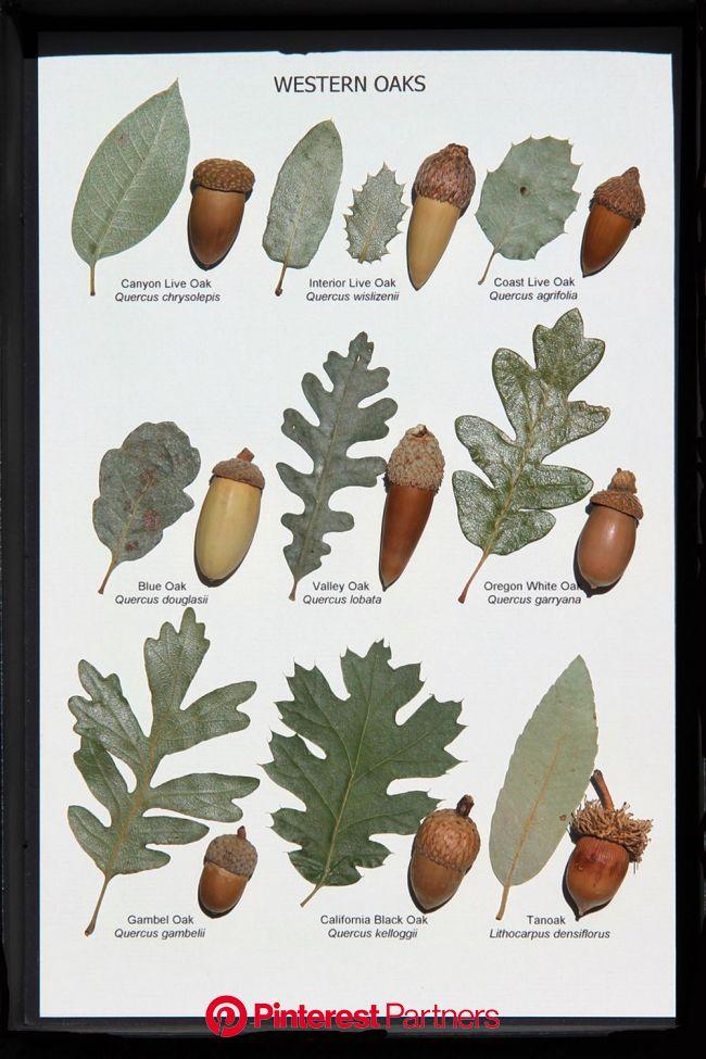 Oak Leaf and Acorn Display (Western Oaks)   Tree leaf identification, Leaf identification, Tree identification